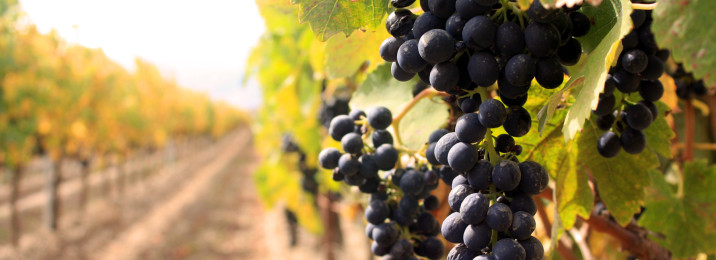pacifica wine division - vineyard management - vineyard grapes-